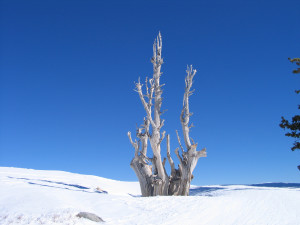Tree on top of the Granite Chief Lift